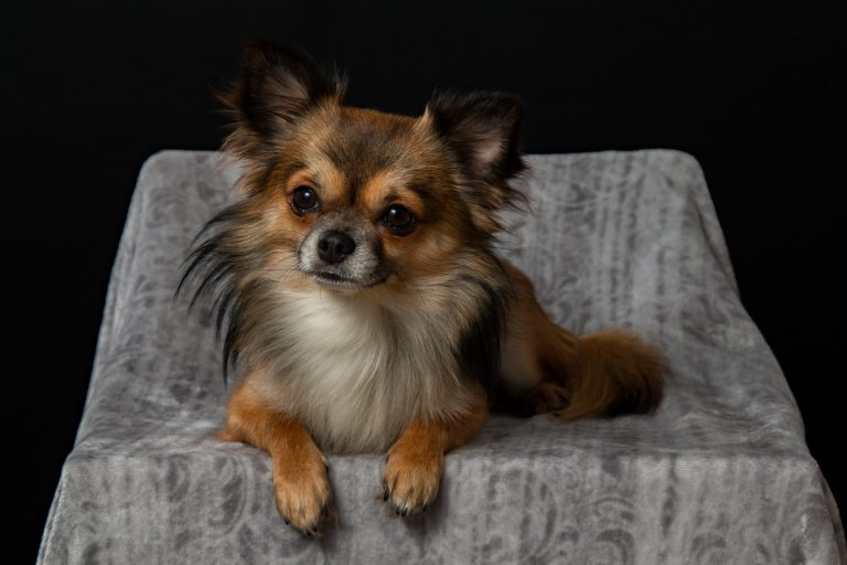 Chihuahua Training Techniques for a Happier Home