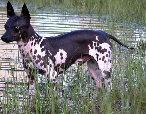 American Hairless Terrier In Water GeoZoo.org