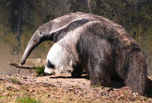 Anteater GeoZoo.org