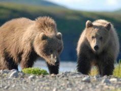 Bears Alaska GeoZoo.org