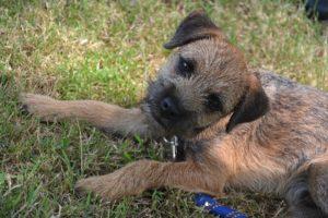Border terrier GeoZoo.org