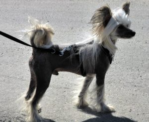 Chinese Crested geozoo.org