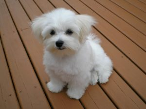 Maltese puppy geozoo.org