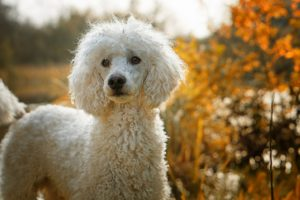 Poodle GeoZoo.org