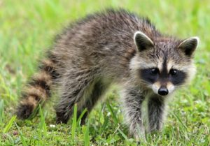 Raccoon GeoZoo.org