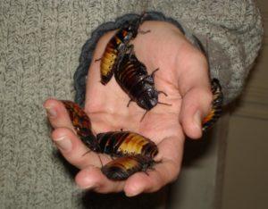 Roachies GeoZoo.org