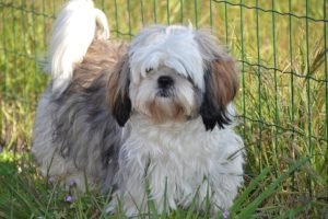 Shih Tzu Petit Furry Dog GeoZoo.org