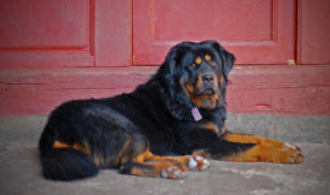 Tibetan Mastiff GeoZoo.org