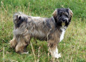 Tibetan terrier GeoZoo.org