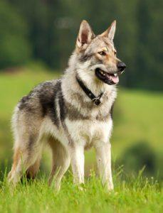 Wolfdog GeoZoo.org