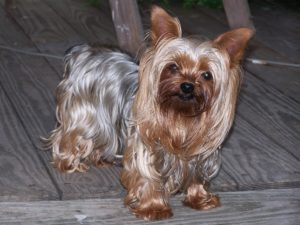 Yorkshire Terrier GeoZoo.org