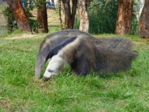anteater on grass geozoo.org