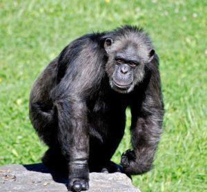 chimpanzee geozoo.org