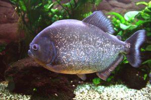 red bellied piranha pygocentrus nattereri geozoo.org