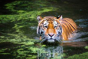 tiger geozoo.org