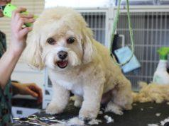 white dog grooming geozoo.org