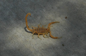 Bbasgen bark scorpion geozoo.org