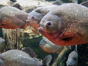 Piranha GeoZoo.org