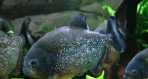 Piranha Red Bellied Tropical Tank Fish Aquarium GeoZoo