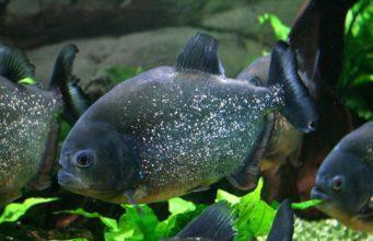Piranha Red Bellied Tropical Tank Fish Aquarium GeoZoo