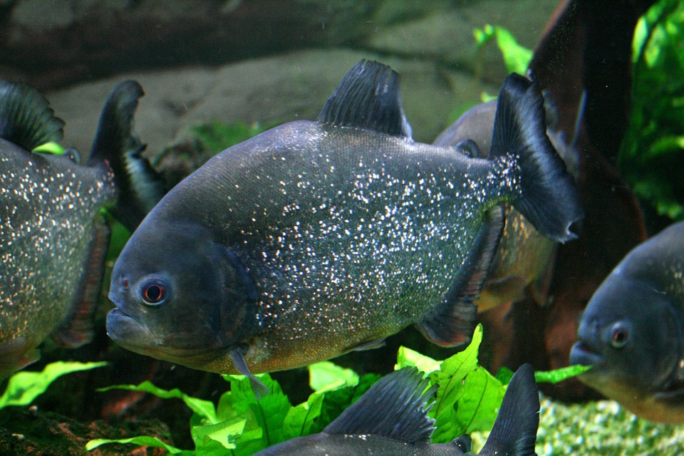 Pet Piranha 101 Do Piranhas Make Good Pets