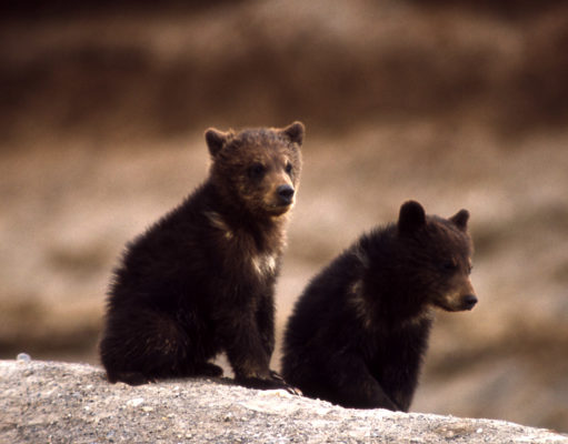 Grizzly Bear cubs GeoZoo.org