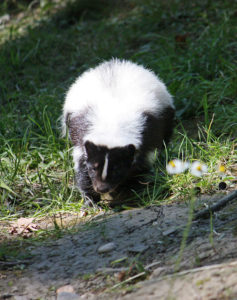 Hooded Skunk (Gelsenkirchen) GeoZoo.org