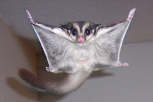 Sugar Glider Flying GeoZoo.org