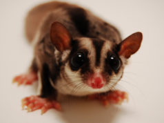 Sugar Glider Looking GeoZoo.org