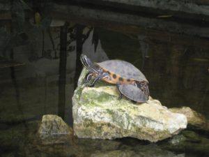 Turtle on rock GeoZoo.org