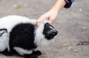 skunk pet GeoZoo.org