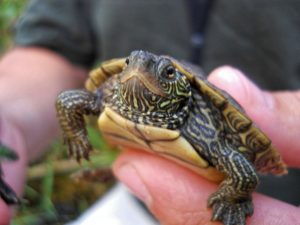 turtle_map_turtle_green_wildlife_small_hand_animal GeoZoo.org