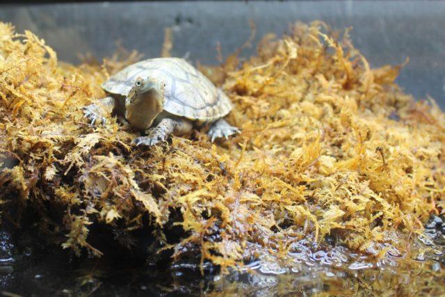 turtle_moss_animal_nature_shell_reptile_wildlife_tortoise