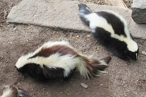 two skunks GeoZoo.org