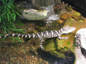 The Pros and Cons of Having a Pet Alligator baby alligator