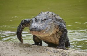 The-Pros-and-Cons-of-Having-a-Pet-Alligator-walking