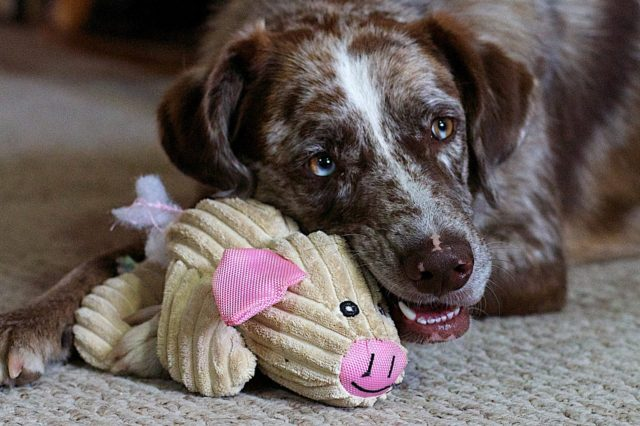 Aggressive Chewers-Try these Dog Toys Featured