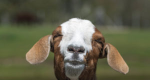How to Care for Your Pet Goat