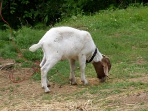 How to Care for Your Pet Goat Eating Grass