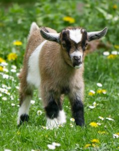 How to Care for Your Pet Goat Pet