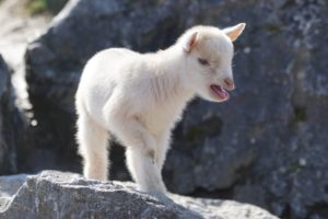 How to Care for Your Pet Goat White on Rock
