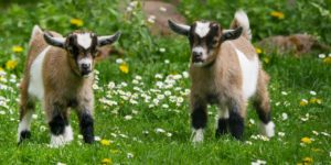 How to Care for Your Pet Goat two