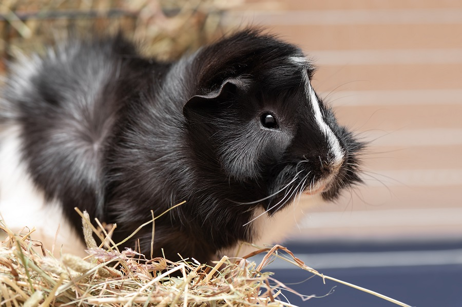 Portrait of little black and white guinea pig.
