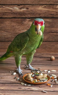 cute green parrot eats nuts