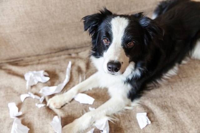 naughty puppy rips up tissues