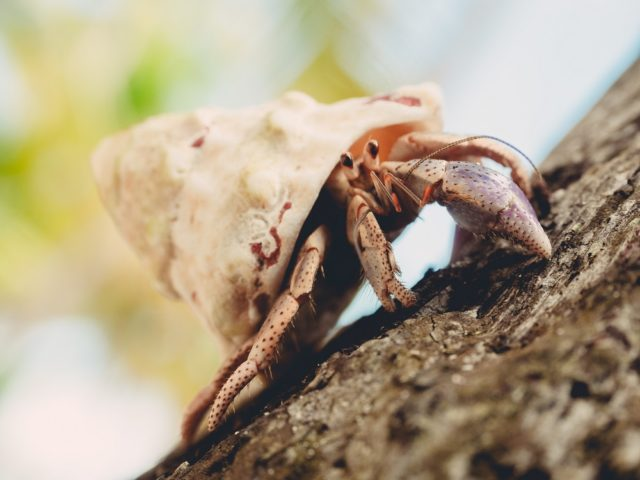 Closeup of a hermit crab crawling on wood