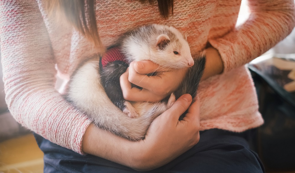 ferret being cuddle by woman
