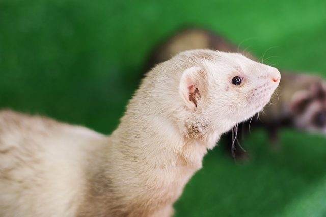 profile of white ferret
