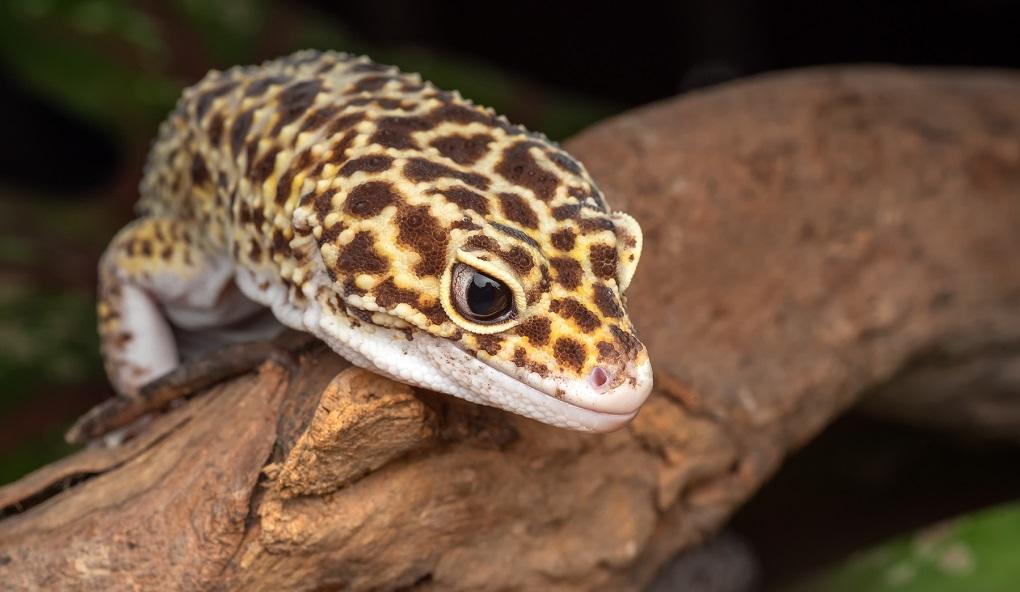 head of leopard gecko