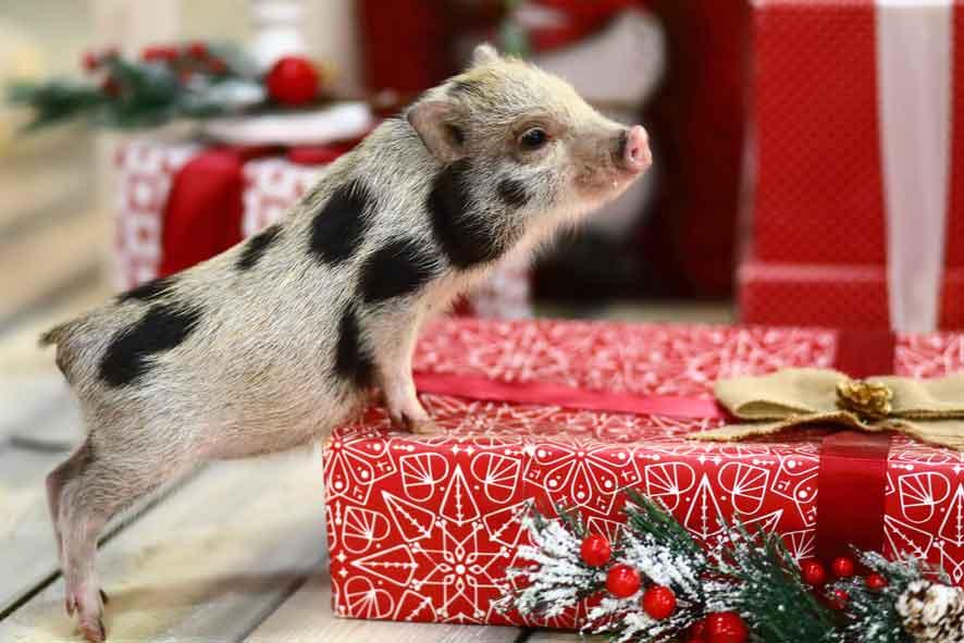 miniature pet pig at christmas